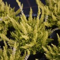 Calluna vulgaris 'Goldmarie'