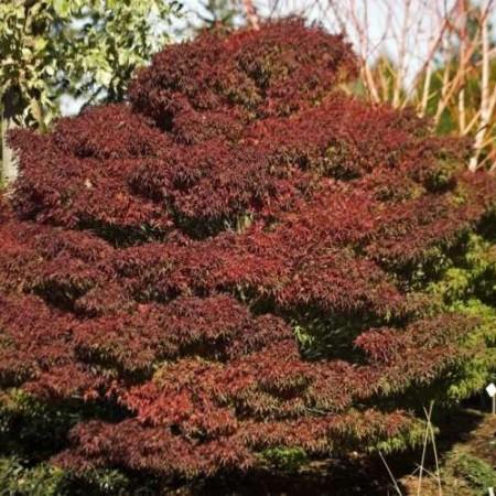 Acer palmatum 'Sharp´s Pygmy'