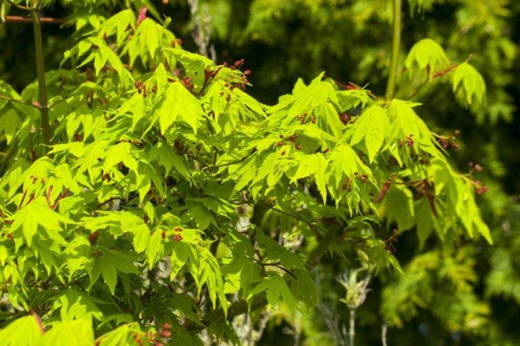 acer palmatum autumn glory japanischer ahorn baumschule. Black Bedroom Furniture Sets. Home Design Ideas