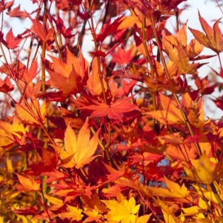 Acer palmatum 'Autumn Glory'