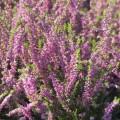 Calluna vulgaris 'Carmen'