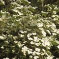 Cornus nut. 'Eddis White Wonder'