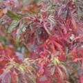 Acer palmatum 'Tennyo no hoshi'