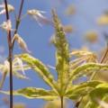 Acer palmatum 'Ukigumo'