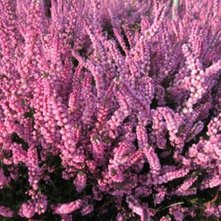 Calluna vulgaris 'Hatjes Herbstfeuer'