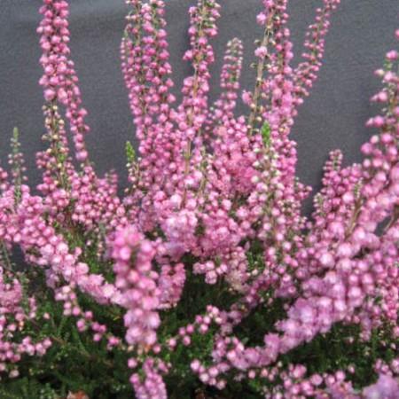Calluna vulgaris 'Heike'