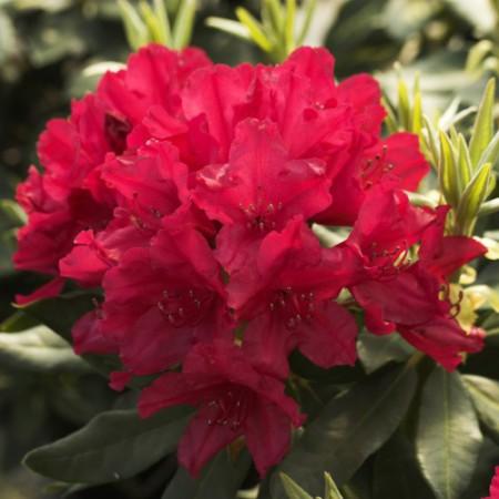 Rhododendron Hybride 'Blinklicht'
