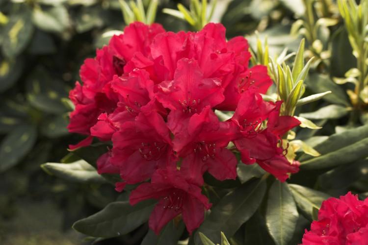 rhododendron hybride blinklicht rot baumschule nielsen. Black Bedroom Furniture Sets. Home Design Ideas