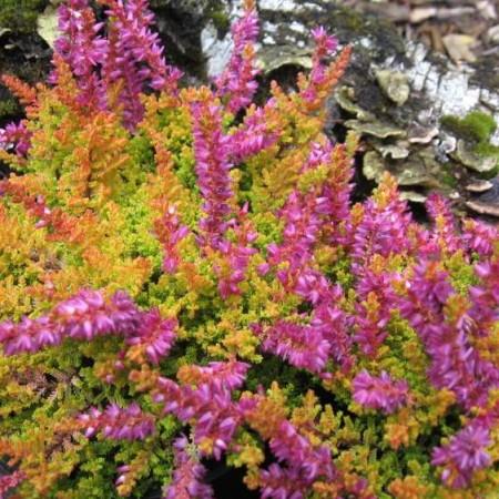 Calluna vulgaris 'Goldcarmen'