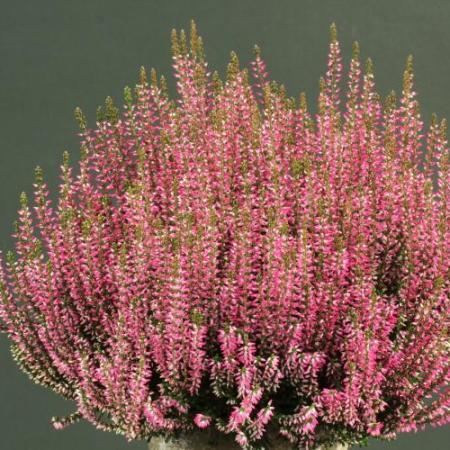 Calluna vulgaris 'Pina' GardenGirls ®