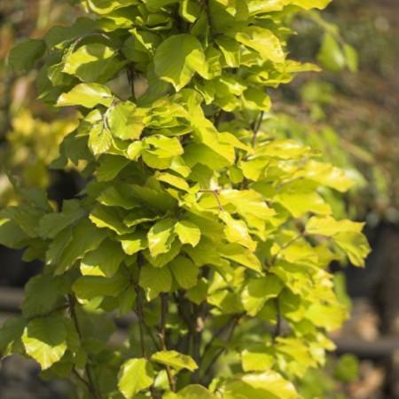 Fagus sylvatica 'Dawyck Gold'