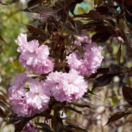 Prunus ser. 'Royal Burgundy'