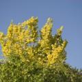 Ulmus carpinifolia 'Wredei'