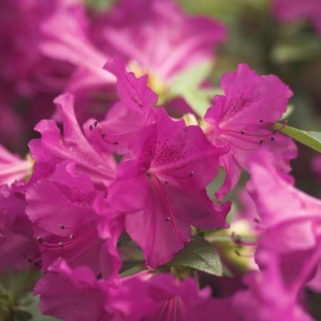 Rhododendron obtusum 'Blaue Donau'