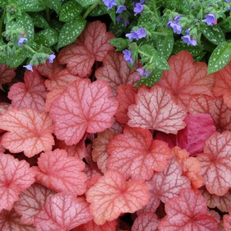 Heuchera 'Georgis Peach'