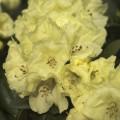 Rhododendron yakushimanum 'Lucinda'