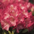 Rhododendron yakushimanum 'Priscilla'