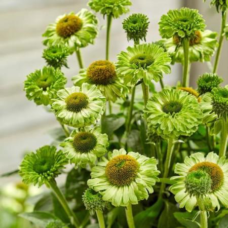 Echinacea 'SunSeekers Apple Green' ®