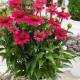 Echinacea 'SunSeekers Magenta' ®