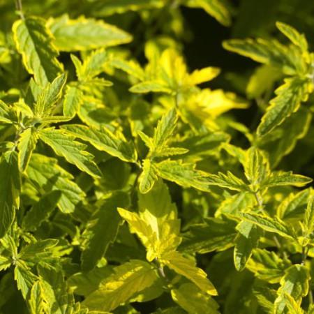 Caryopteris clandonensis 'Summer Sorbet' ®