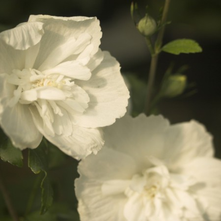 Hibiscus syr. 'White Chiffon'