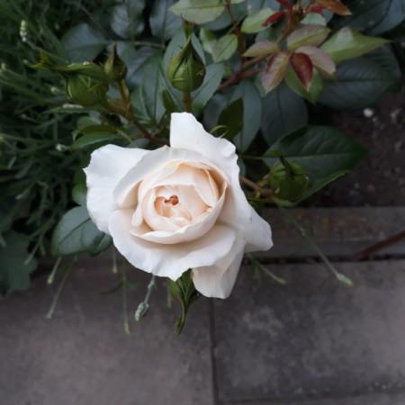 Rose 'Lions Rose'