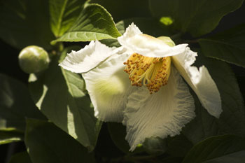 Stewartia speudocamellia