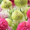 Echinacea 'Coconut Lime'
