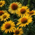 Echinacea 'Maui Sunshine'