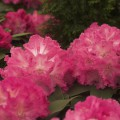 Rhododendron Hybride 'Germania'