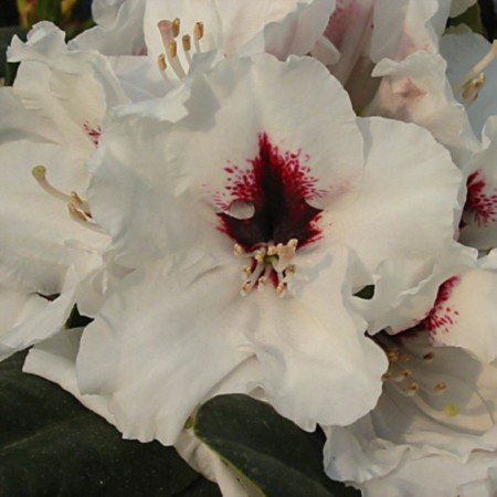 Rhododendron Hybride 'Hachmann`s Picobello'