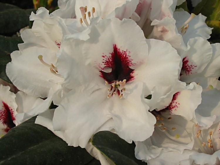 rhododendron hybride 39 h picobello 39 baumschule nielsen. Black Bedroom Furniture Sets. Home Design Ideas
