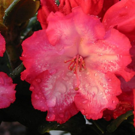 Rhododendron yakushimanum 'Kokette'
