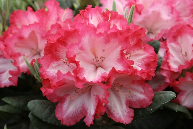 rhododendron yakushimanum 39 kokette 39 baumschule nielsen. Black Bedroom Furniture Sets. Home Design Ideas