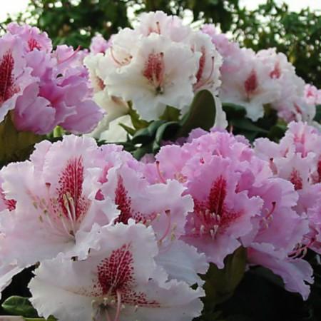 Rhododendron Hybr. 'Progrès'