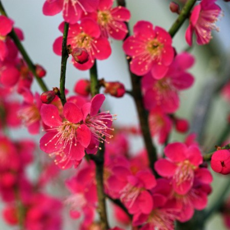 Prunus mume 'Beni-chi-dori'