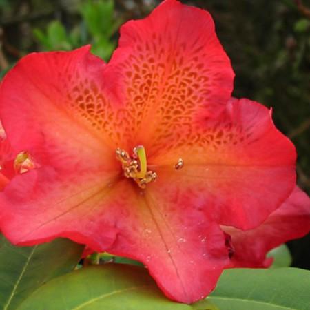 Rhododendron Hybr. 'Unique Marmalade'