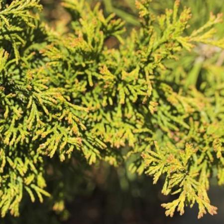 Chamaecyparis obtusa 'Brian'