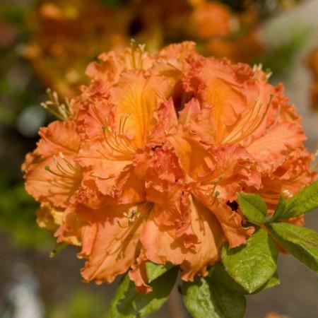 Rhododendron luteum 'Gibraltar'