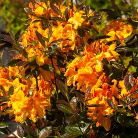 Rhododendron luteum 'Klondyke'