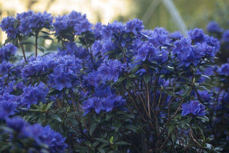 rhododendron russatum 39 gletschernacht 39 baumschule nielsen. Black Bedroom Furniture Sets. Home Design Ideas