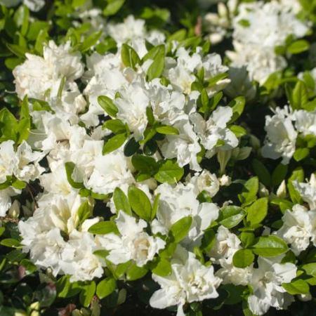 Rhododendron obtusum 'Feenkissen' ®
