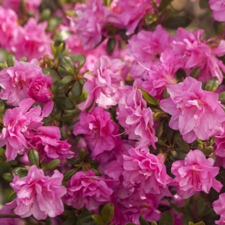 Rhododendron obtusum 'Marinja' ®
