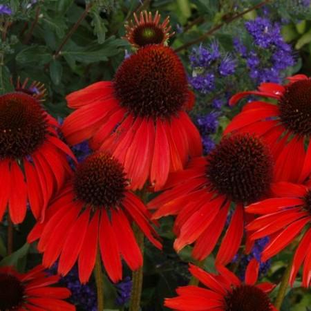 Echinacea 'Firebird'