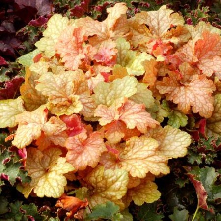 Heuchera 'Midas Touch'