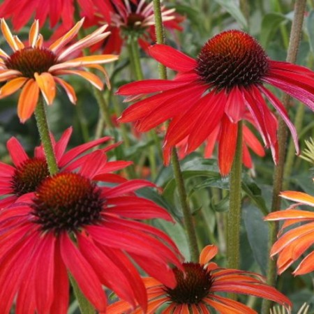 echinacea orange skipper sonnenhut baumschule nielsen. Black Bedroom Furniture Sets. Home Design Ideas