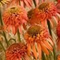 Echinacea 'Irresistable'