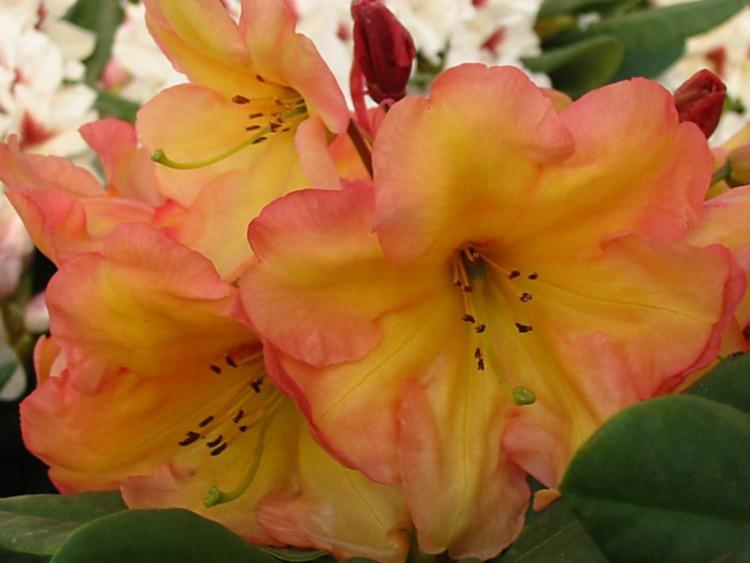 rhododendron hybride 39 macarena 39 baumschule nielsen. Black Bedroom Furniture Sets. Home Design Ideas