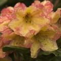 Rhododendron Hybr. 'Macarena'