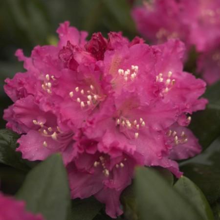 Rhododendron Hybr. 'Manuela'